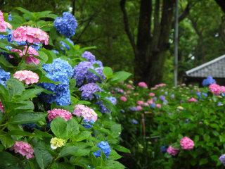 紫陽花イメージ
